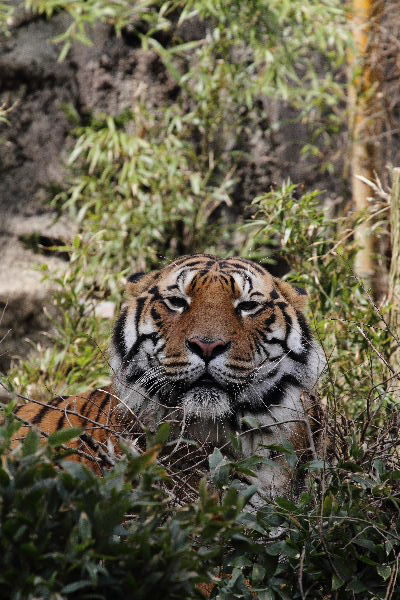 TobeZOO Tiger Br. 130316 010