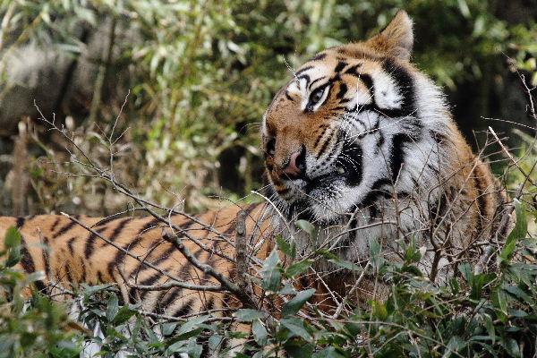 TobeZOO Tiger Br. 130316 007