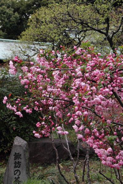 皇居東御苑・海棠桜 130326 01