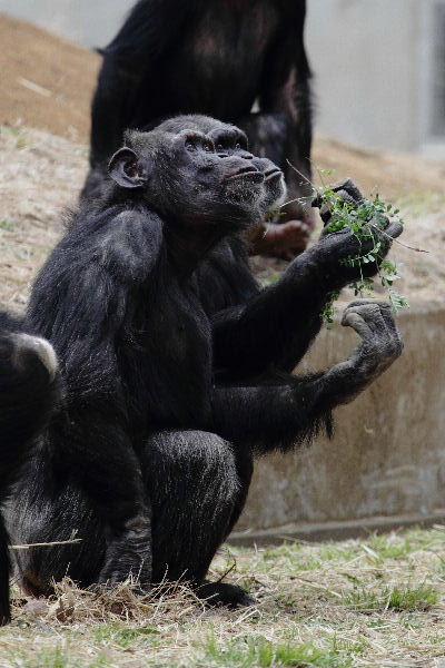 TamaZOO チンパンジー 130324 02