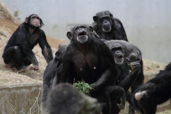 TamaZOO チンパンジー 130324 01