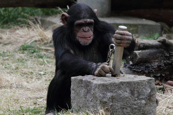 TamaZOO チンパンジー 130324 03