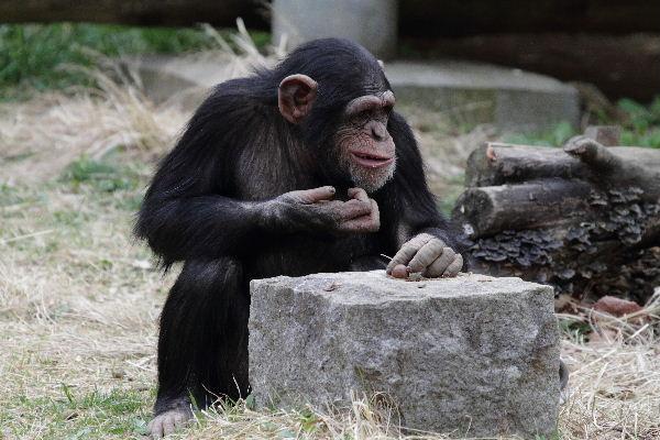 TamaZOO チンパンジー 130324 04