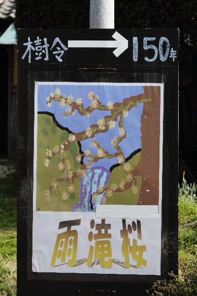 河之内雨滝桜 130330 01