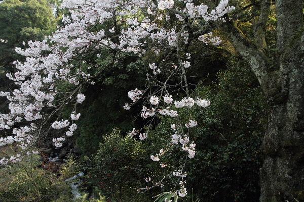 河之内雨滝桜 130330 03