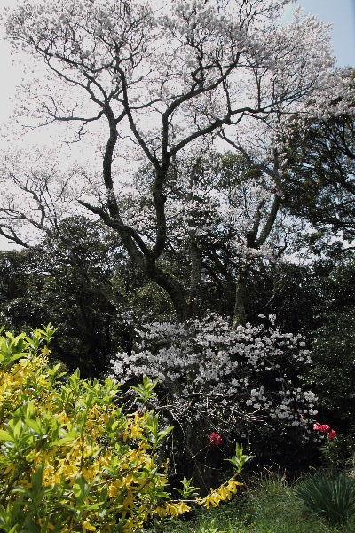雨滝桜 130401 01