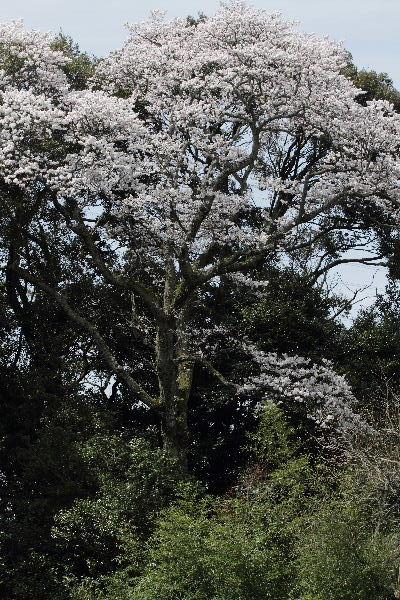 雨滝桜 130401 03