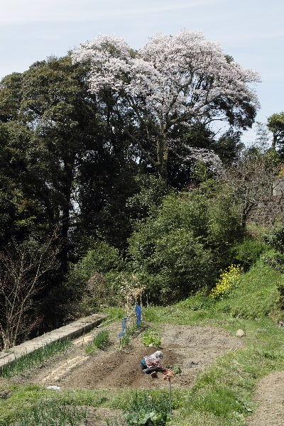 雨滝桜 130401 04