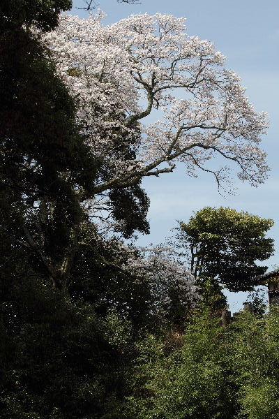 雨滝桜 130401 05