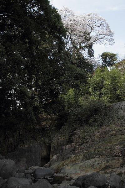 雨滝桜 130401 06