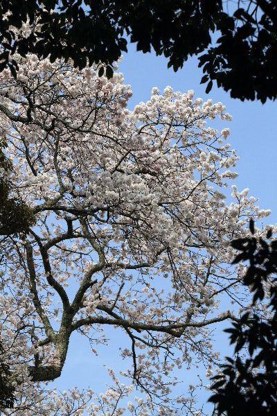 雨滝桜 130401 07
