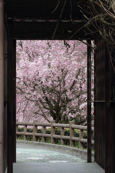 とべ動物園-枝垂桜 130331 03
