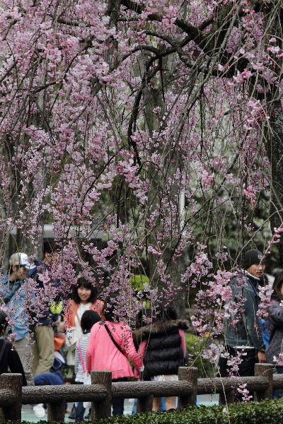 とべ動物園-枝垂桜 130331 06