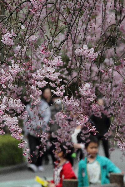 とべ動物園-枝垂桜 130331 07