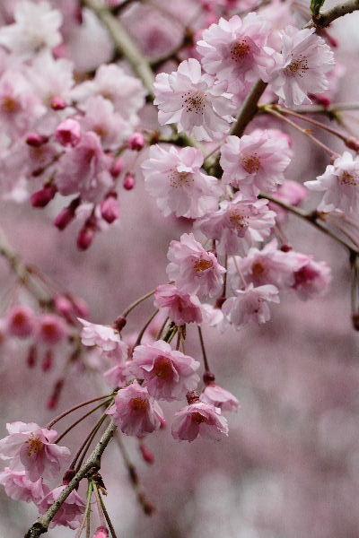 とべ動物園-枝垂桜 130331 08