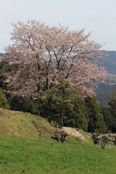 小田立石桜 130404 004