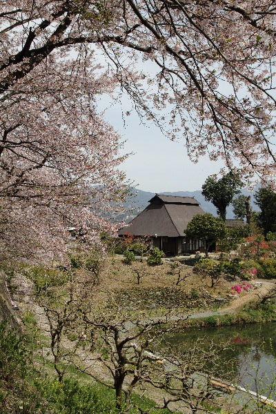 小田立石・尾首の池桜 130404 005
