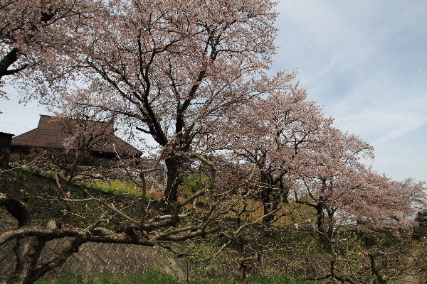 小田立石・尾首の池桜 130404 018