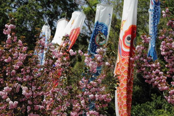 鷹子里山・桜と鯉幟 130415 05