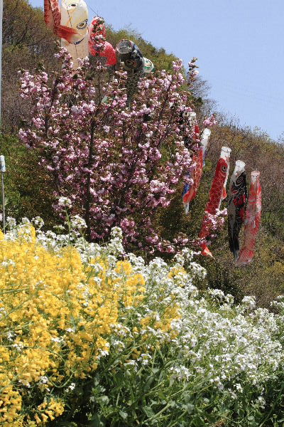 鷹子里山・桜と鯉幟 130415 07