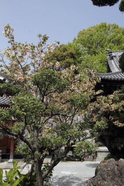 道後姫塚・義安寺鬱金桜 130415 05