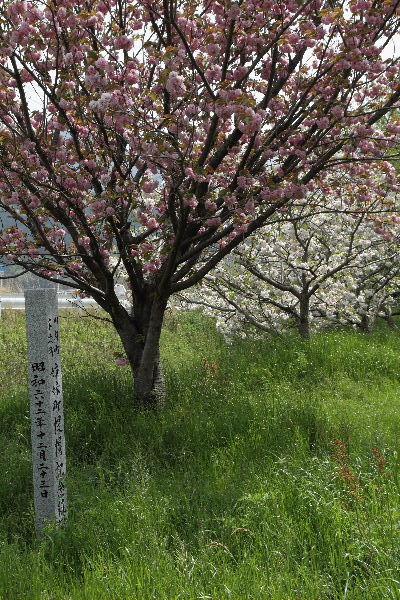 川内・木次姉妹町提携記念樹 130416 02