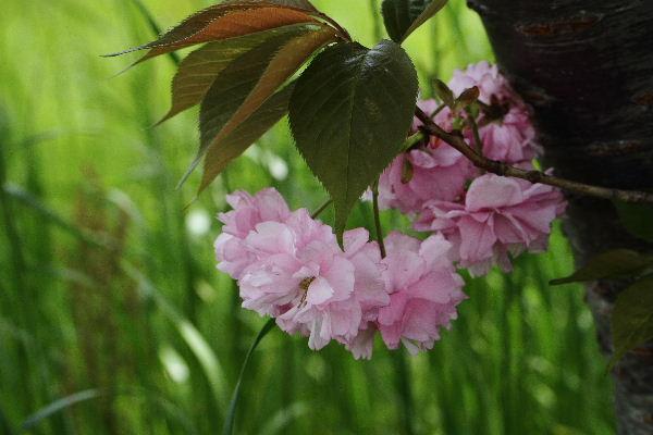 川内・木次姉妹町提携記念樹 130416 04