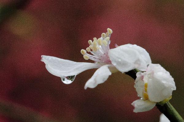 森の交流センター カラタチ・雨 130417 01