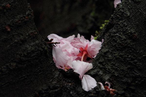 森の交流センター 関山落花 130417 04