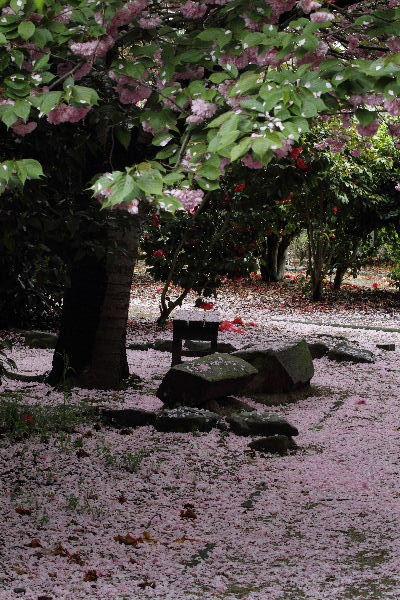 森の交流センター 関山落花 130417 05