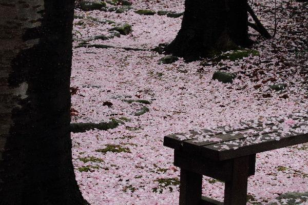 森の交流センター 関山落花 130417 06