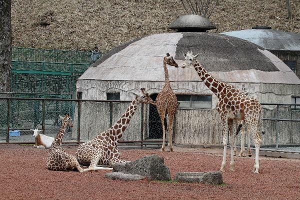 多摩動物公園 アミメキリン 130324 01