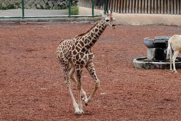 多摩動物公園 アミメキリン・ユララ 130324 03