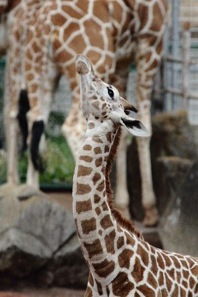 多摩動物公園 アミメキリン・ユララ 130324 02