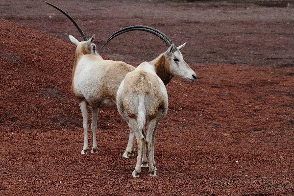 多摩動物公園 シロオリックス 130324 01
