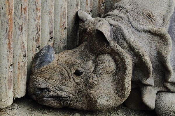 多摩動物公園 インドサイ 130324 011