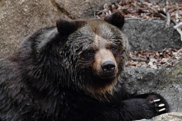 多摩動物公園 ヒグマ 130324 004