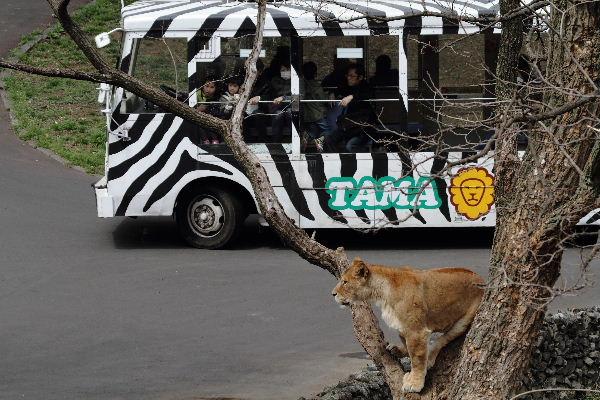 TamaZOO Lion 130324 07