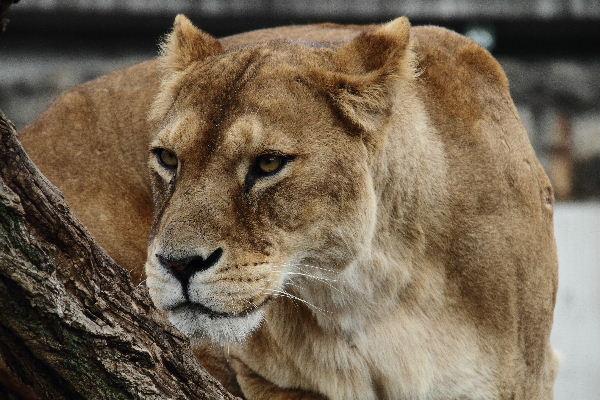 TamaZOO Lion 130324 03