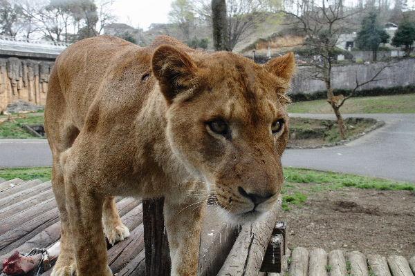 TamaZOO Lion 130324 04