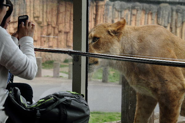 TamaZOO Lion 130324 06