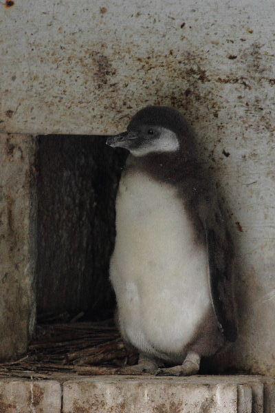 TobeZOO フンボルトペンギン・雛 130421 002