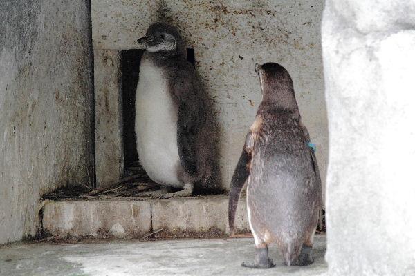 TobeZOO フンボルトペンギン・雛 130421 006
