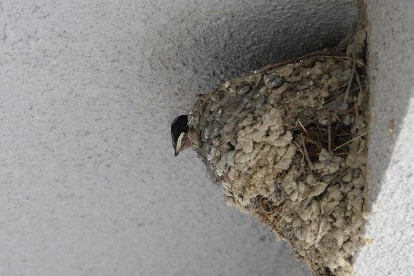 燕の雛 130523 003