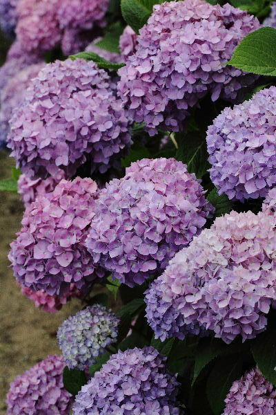 花き研究指導室 紫陽花 130530 03