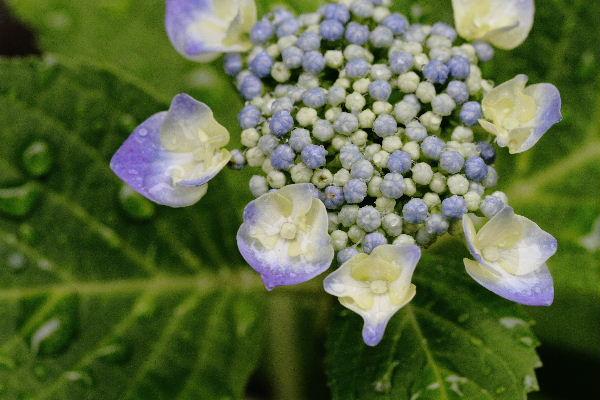 我家の紫陽花 130609 03