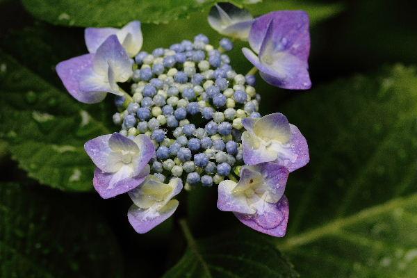 我家の紫陽花 130609 04