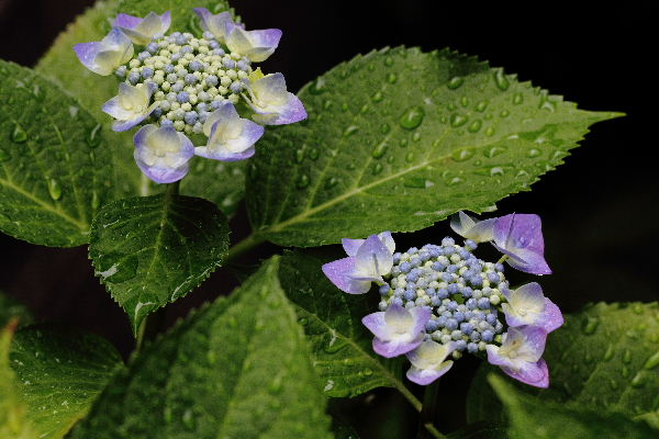 我家の紫陽花 130609 05