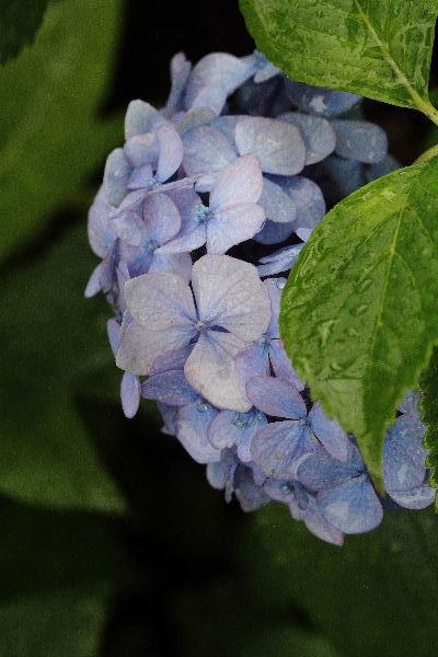 我家の紫陽花 130615 001