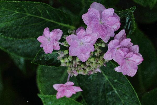 我家の紫陽花 130615 003